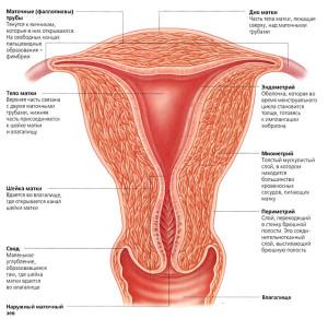 Как вылечит эндометрит, структура сустава