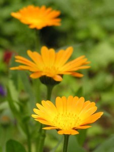 Лечение рака прямой кишки цветами календулы