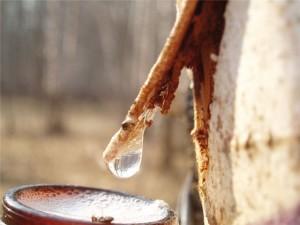 Березовый сок для лечения печени