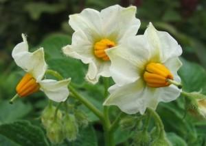 Картофельные цветы для лечения рака