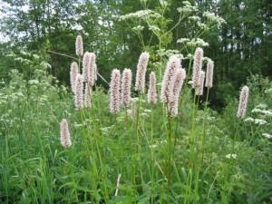 трава змеиный горец для лечения заболевания