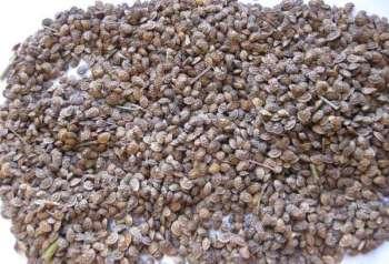 Эспарцет песчаный. Другое название – «заячий горох»