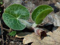 Настойка из листьев копытника