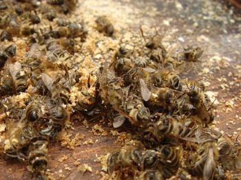 Подмор - это трупы медоносных пчел