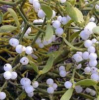 При головокружениях, связанных с атеросклерозом, можно применять смесь омелы белой и софоры японской