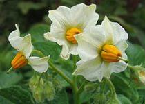 Высушенные цветы обычного картофеля