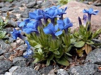 Часто путают с колокольчиками цветы небывалой синевы - горечавки