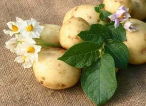 Целебный картофель