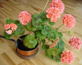 Комнатные растения могут стать источником аллергии