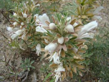 Lagochilus knorringianus