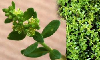 Лечение паховой грыжи, трава грыжника