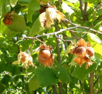 Лещина обыкновенная или лесной орех