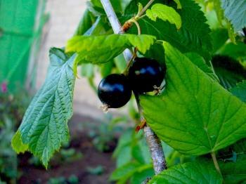 Листочки черной смородины