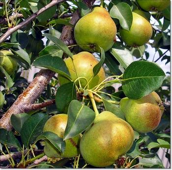 Листья груши