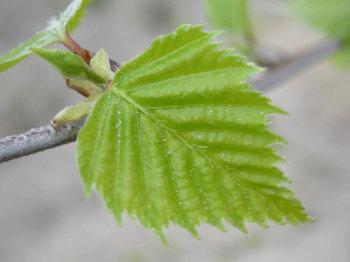 Листья и почки березы