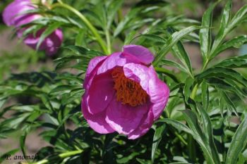 Настойка пиона – известное средство при депрессии