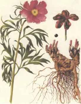 Отвар из корней пиона