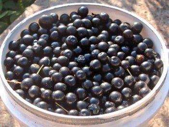 Первый рецепт, который необходимо взять на вооружения для лечения дизентерии в домашних условиях, это отвар, сделанный из спелых плодов черемухи