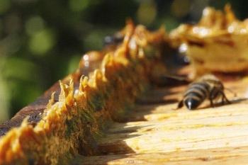 Прополис - уникальное вещество, создаваемое пчелами