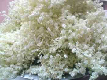 Соцветия бузины