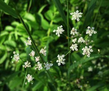 Сушеную траву сушеницы болотной надо измельчить и заварить 100 г в литре кипятка