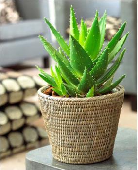 У многих дома растет полезный цветок алоэ. Он тоже поможет избавиться от паразитов