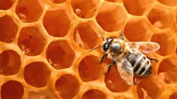 Воск пчелы