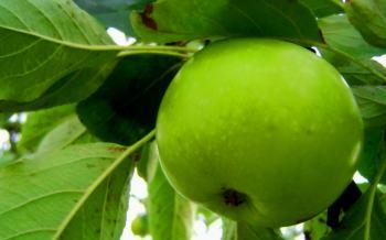 Яблочная терапия