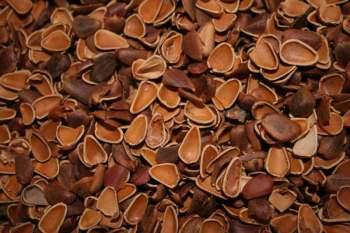 Знаменитый кедровый орех полезен при многих заболеваниях