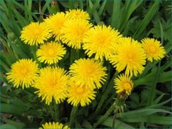Одуванчик - прекрасное целебное растение