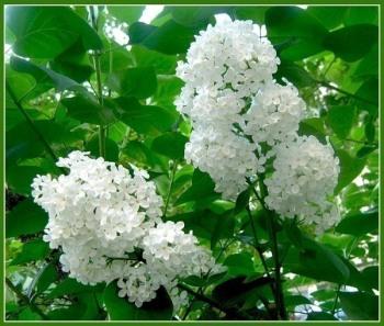 Цветы и почки белой сирени при артрозе