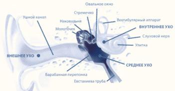 Внутреннее устройство уха