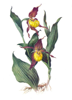 Башмачок настоящий (Cypripedium calceolus L.)
