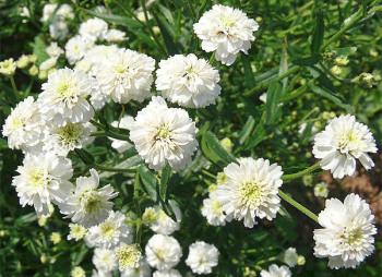 Чихотная трава: рецепты народного лечения, польза и вред растения