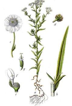 Чихотная трава применение в народной медицине