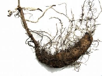 Диоскорея кавказская, корень