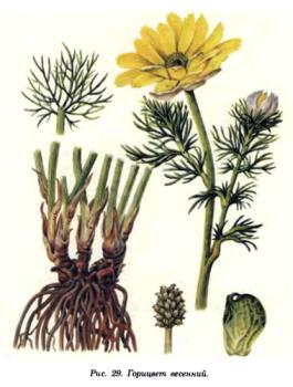 Горицвет весенний — Adonis vernalis