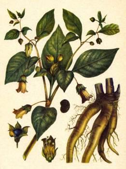 Красавка, беладонна, сонная одурь (Atropa beladonna L.) - многолетнее травянистое растение, семейства пасленовых (Solanaceae)