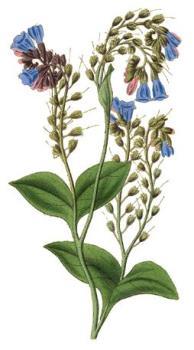 Окопник гибридный (Symphytum ×uplandicum)