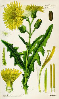 Осот полевой (Sonchus arvensis L.)