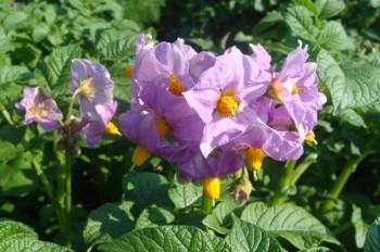 Отвар цветов картофеля