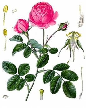 Роза крымская применение в народной медицине