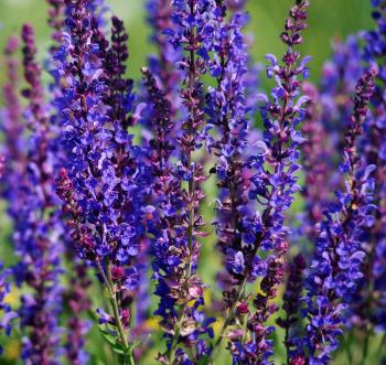 Шалфей: чем полезна трава для женщин и мужчин