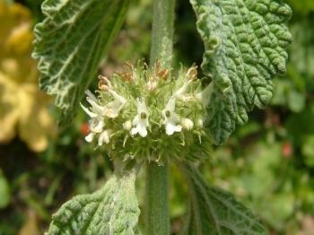 Шандра: лечебные свойства травы в народной медицине