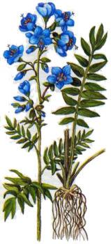 Синюха голубая применение в народной медицине
