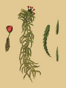 Торфяной мох применение в народной медицине