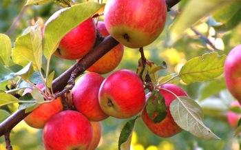 Яблоня: полезные рецепты из народной медицины, лечение и профилактика