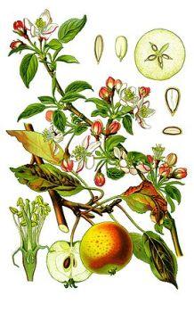 Яблоня применение в народной медицине