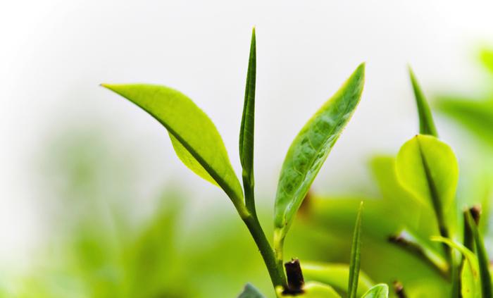 зеленый чай средство для похудения