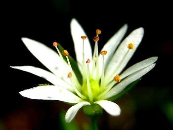 Звездчатка Бунге (Stellaria)